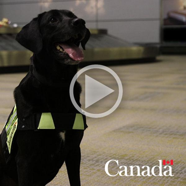 Rencontrez Lacy, un chien détecteur de l'Agence des services frontaliers du Canada