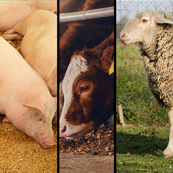 Foot-and-Mouth Disease: a good offence is the best defence