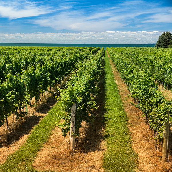 Collaborating with genome specialists to protect Canadian wine