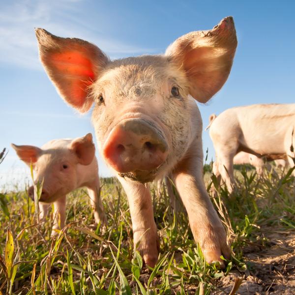Épisode3– Comment le Canada protège ses porcs: la peste porcine africaine