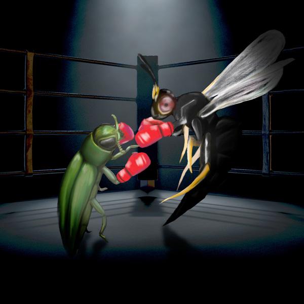 Épisode4– Combat entre insectes : l'agrile du frêne et les guêpes parasitoïdes