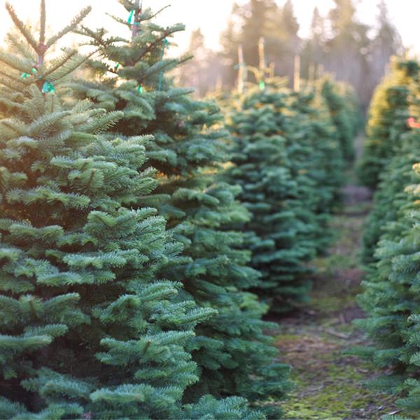 Le Panama aime vraiment l'odeur des arbres de Noël canadiens