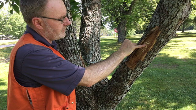 CFIA expert, Ron Neville, answers a question on how to spot the signs and symptoms of emerald ash borer