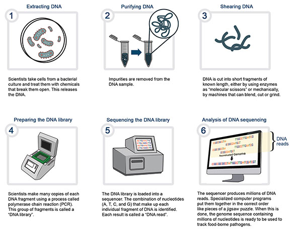 Image - Whole genome sequencing (WGS) a laboratory procedure. Description follows.