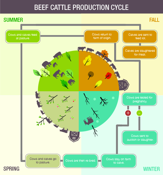 Infographic: Beef Production Cycle. Description follows.