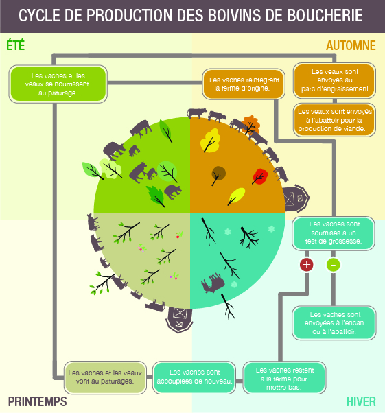 Infographie: Cycle de production des bovins de boucherie. Description ci-dessous.