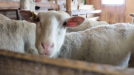 Colleen Acres: Sheep produce