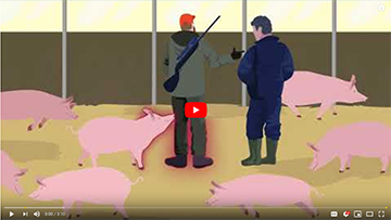 EFSA's guide on ASF: what it is and how to protect domestic pigs from infection.