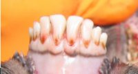 Sheep Age Verification Using Dentition - Example 1: sheep dentition under age 12 months
