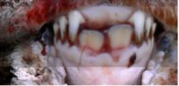 Sheep Age Verification Using Dentition - Example 2 of sheep dentition over 12 months