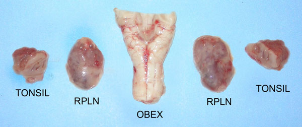 Figure 15 -Photos of the obex and the medial retropharyngeal lymph nodes (RPLNs)