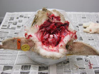 This is an image of a sheep's head dorsal side down on a table with the opening of the spinal canal facing you