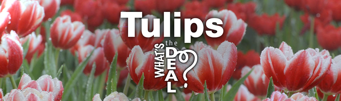 Video – Tulips: What's the Deal?