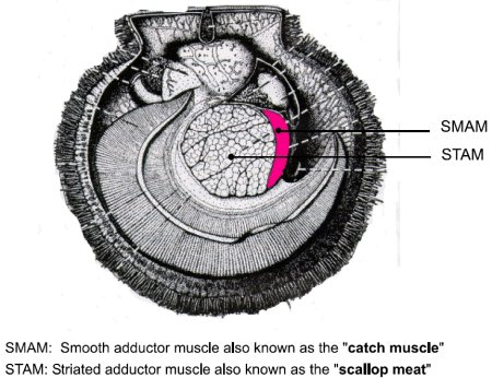 Picture - Adductor muscle in scallops. Description follows.