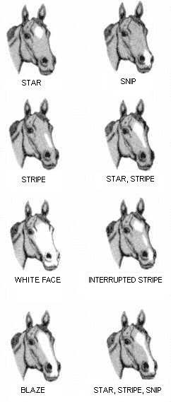 This image shows the face markings of equines: star, snip, stripe, star with stripe, white face, interrupted stripe, blaze and star with stripe and snip.