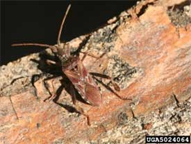 Leptoglossus occidentalis - Whitney Cranshaw, Bugwood.org