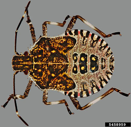 A photo of a brown marmorated stink bug (Halyomorpha halys) nymph.