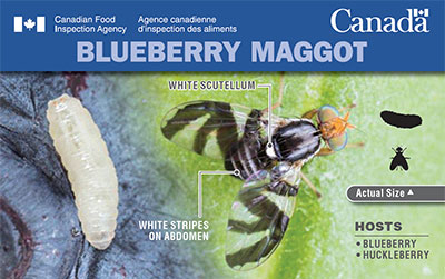Thumbnail image for plant pest card: Blueberry Maggot. Description follows.