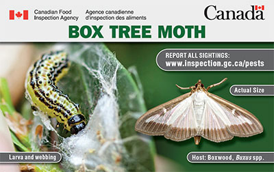 Thumbnail image for plant pest card: Box Tree Moth. Description follows.