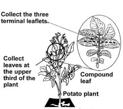 image: Diagram 2: How to sample leaves for virus testing.