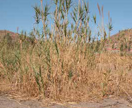 Giant reed stems, leaves and sheaths
