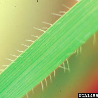 Jointed goatgrass hairs along leaf margins