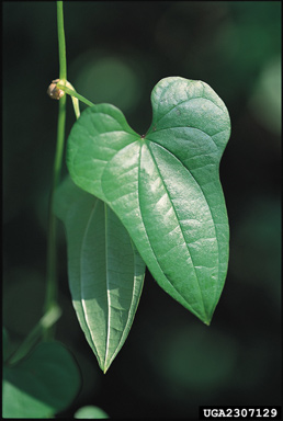 Chinese yam leaves