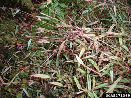 Japanese stiltgrass plants in the fall