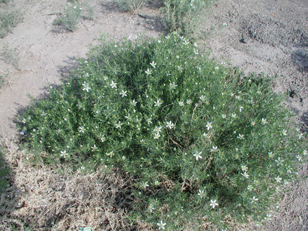 Whole African-rue plant
