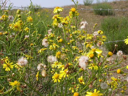 South African ragwort plants