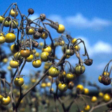 Silverleaf nightshade fruit