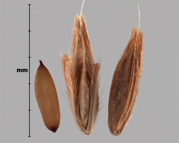 Photo - Japanese stiltgrass (Microstegium vimineum) spikelets and grain