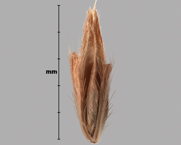 Photo - Japanese stiltgrass (Microstegium vimineum) spikelet