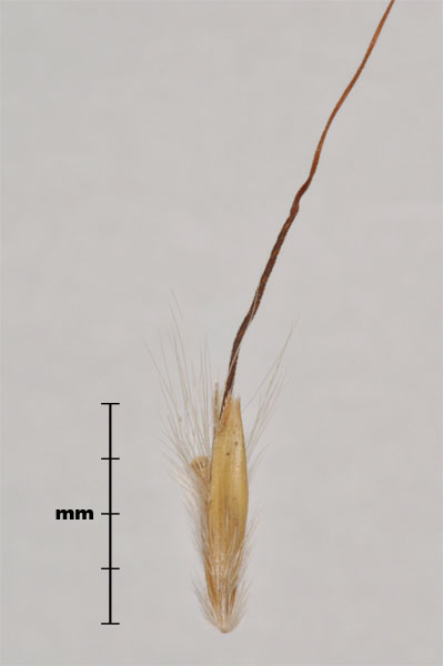 Photo - Yellow bluestem (Bothriochloa ischaemum) spikelet