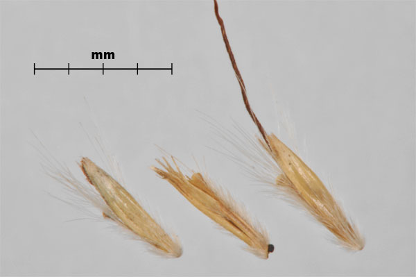 Photo - Yellow bluestem (Bothriochloa ischaemum) spikelets