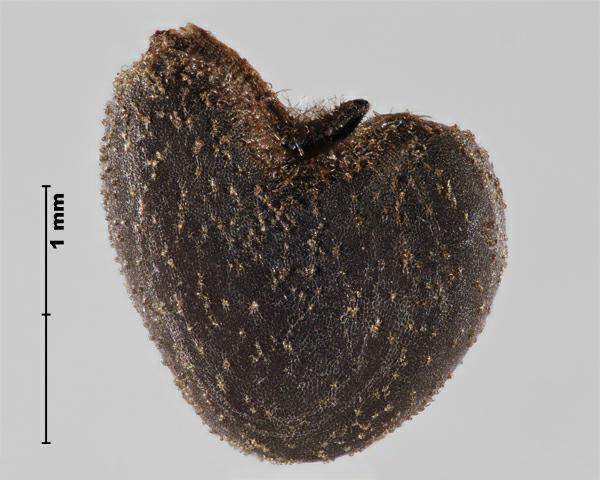 Weed Seed Abutilon Theophrasti Velvetleaf Canadian Food