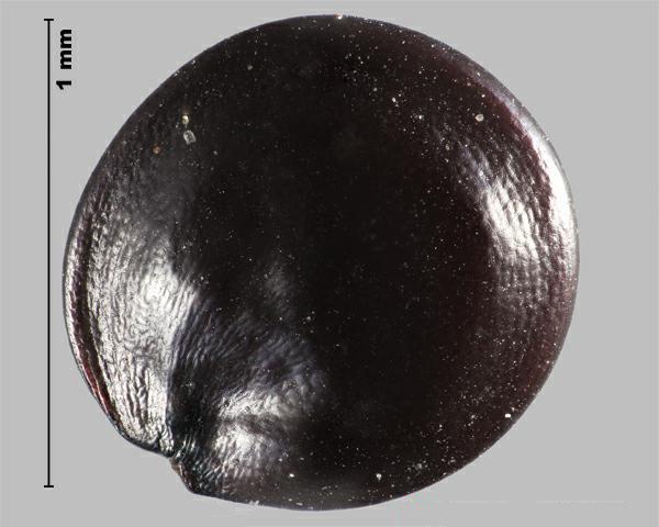 Photo of Amaranthus retroflexus