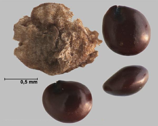 Photo de Amaranthus tuberculatus