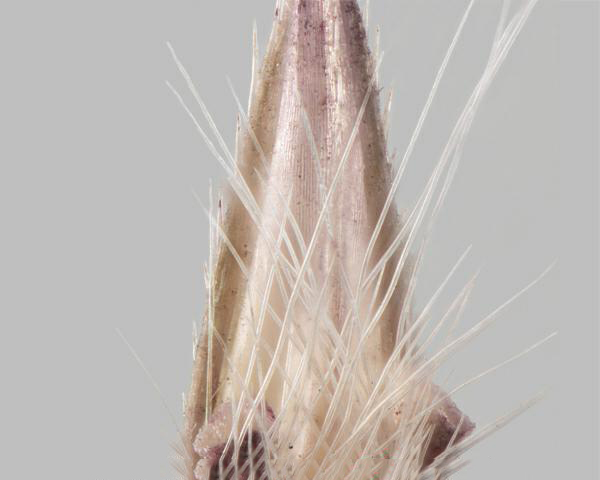 Similar species: Yellow bluestem (Bothriochloa ischaemum) spikelet, showing teeth along sides of bract
