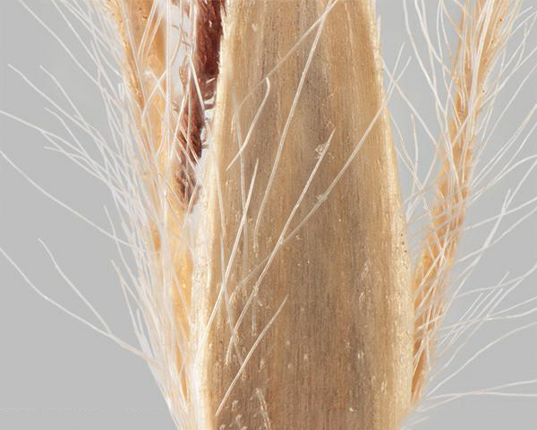 Silver beardgrass (Bothriochloa laguroides) spikelet outer bract showing short teeth along edge