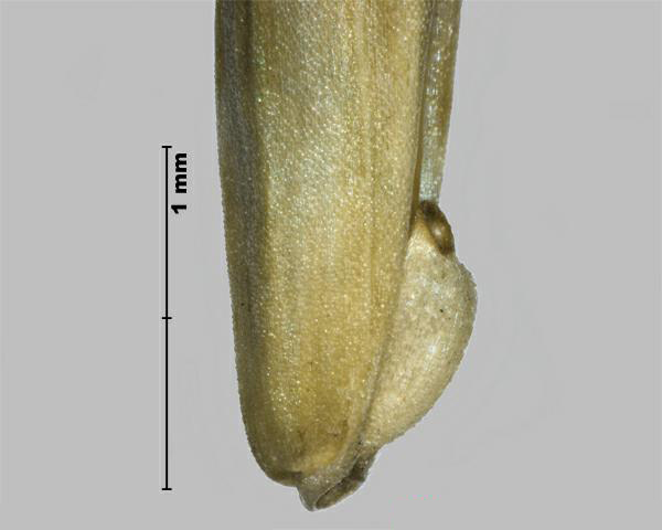 Figure 3 - Cheat (Bromus secalinus) base of floret, side view