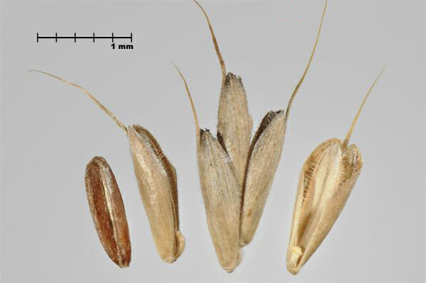 Figure 1 - Cheat (Bromus secalinus) caryopsis (L) and florets