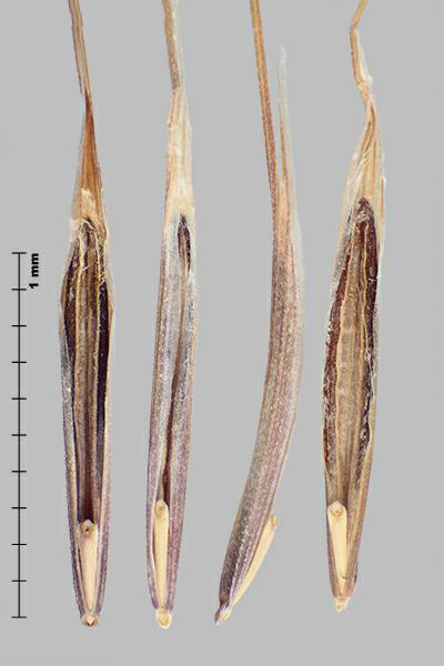 Figure 5 - Similar species: Barren brome (Bromus sterilis) florets