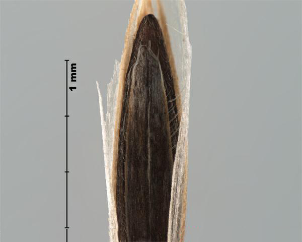 Figure 3 - Downy brome (Bromus tectorum) floret, palea teeth