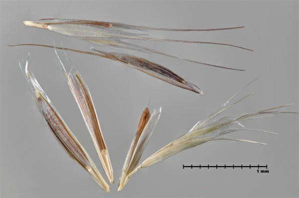 Figure 1 - Downy brome (Bromus tectorum) florets and spikelets