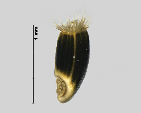 Figure 5 - Similar species: Spotted knapweed (Centurea stoebe) achene