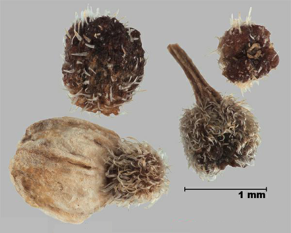 Figure 6 - Similar species: Northern bedstraw (Galium boreale) fruits