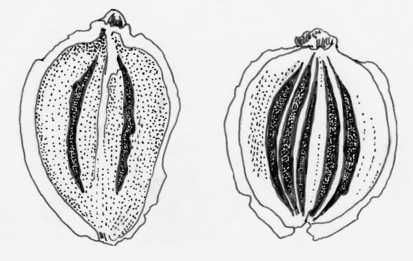 Figure 5 - Wild parsnip (Pastinaca sativa) mericarps, inner face (L) and outer face (R)