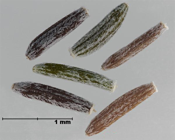 Figure 7 - Similar species: South African ragwort (Senecio inaequidens) achenes