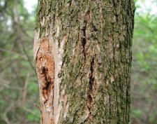 Vertical bark cracks over larval galleries caused by callus tissue production.
